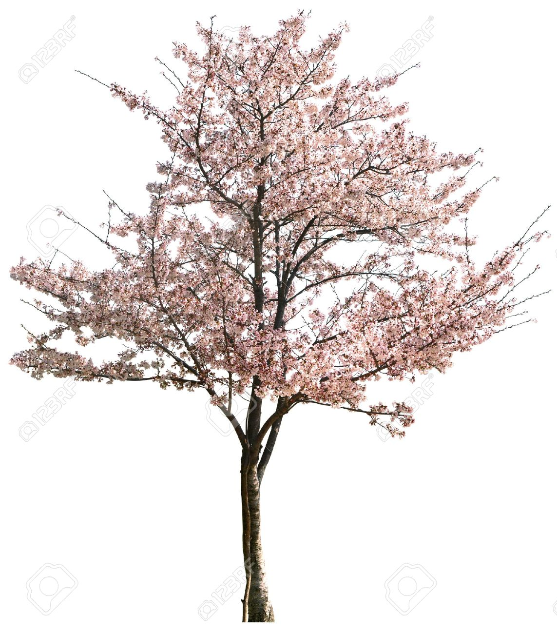 Pink Japanese apricot flower isolated on white in winter - 9653351