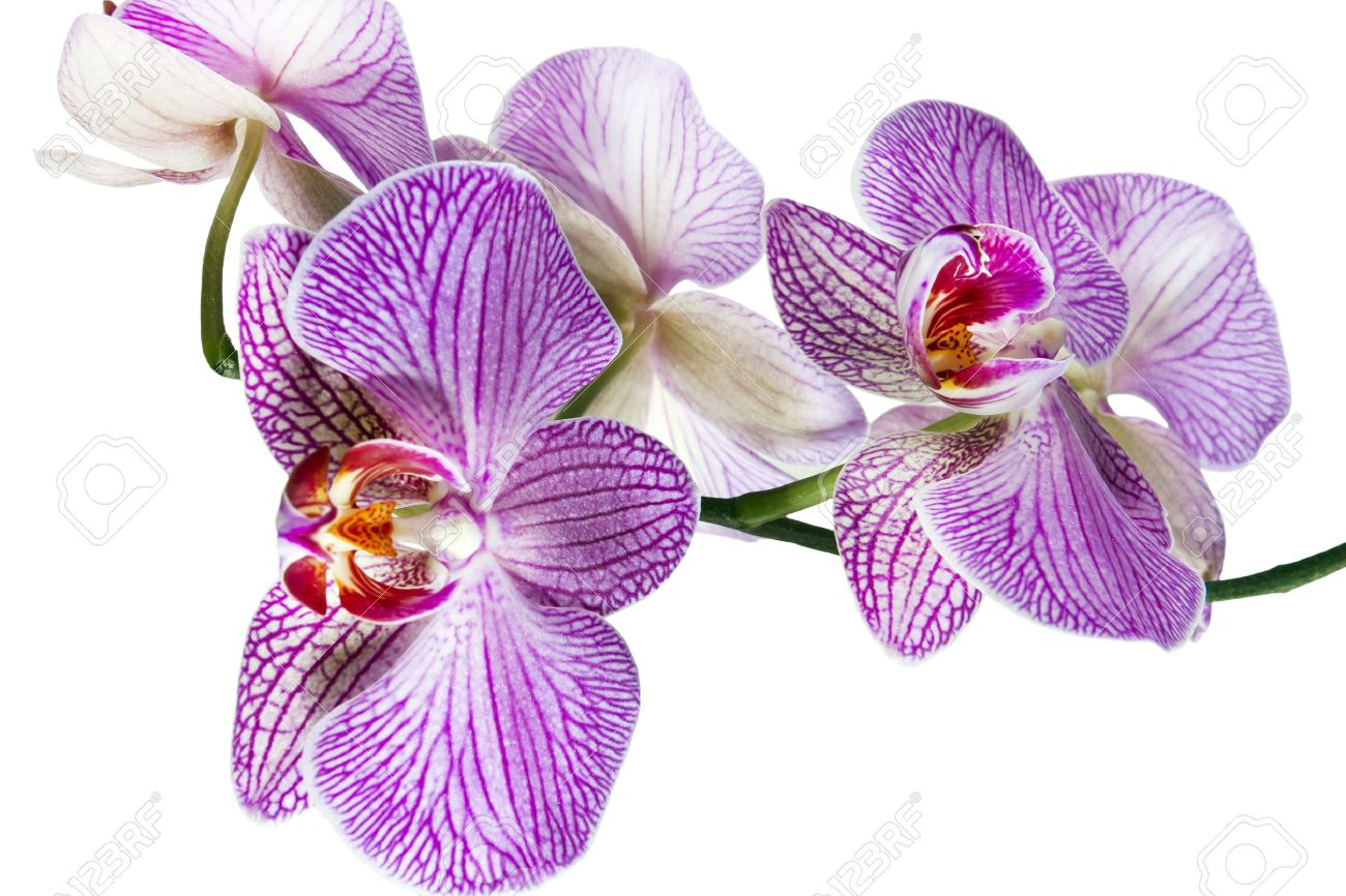 flower of orchid  isolated on white background Stock Photo - 12745903