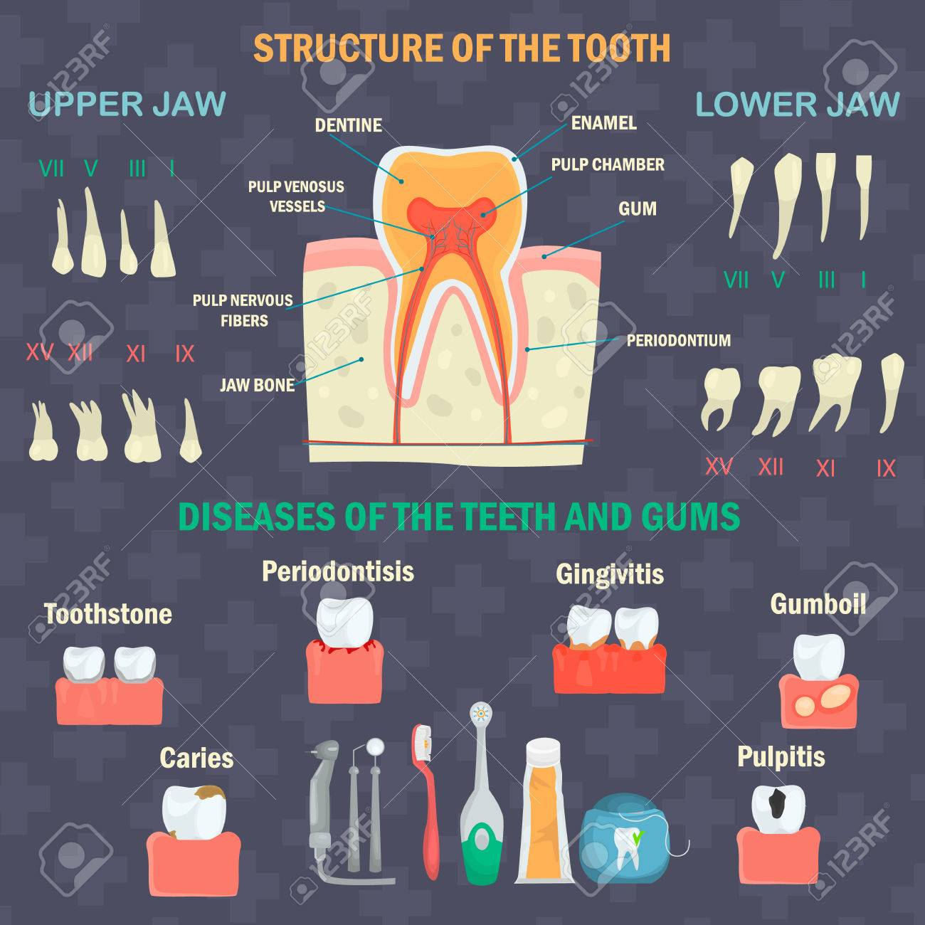 Tooth structure types of human teeth teeth diseases and hygiene tooth structure types of human teeth teeth diseases and hygiene products dental infgraphics biocorpaavc Image collections