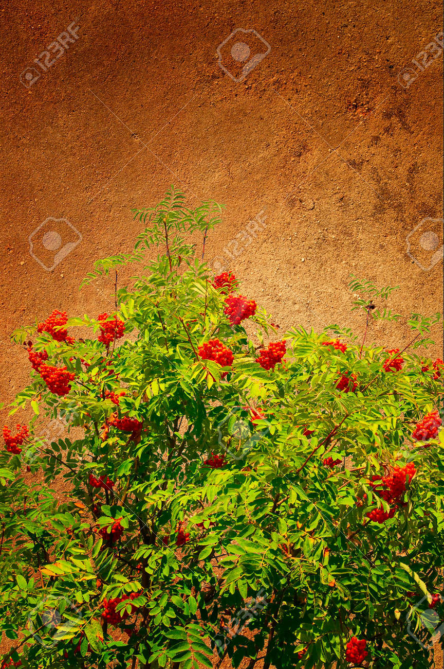 Abstract view of wall and rowanberry pasted on it. Stock Photo - 5451303
