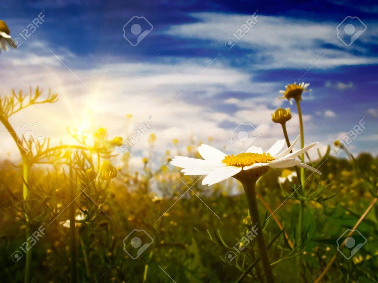 Silence, camomiles and blue sky by spring. Stock Photo - 7037763