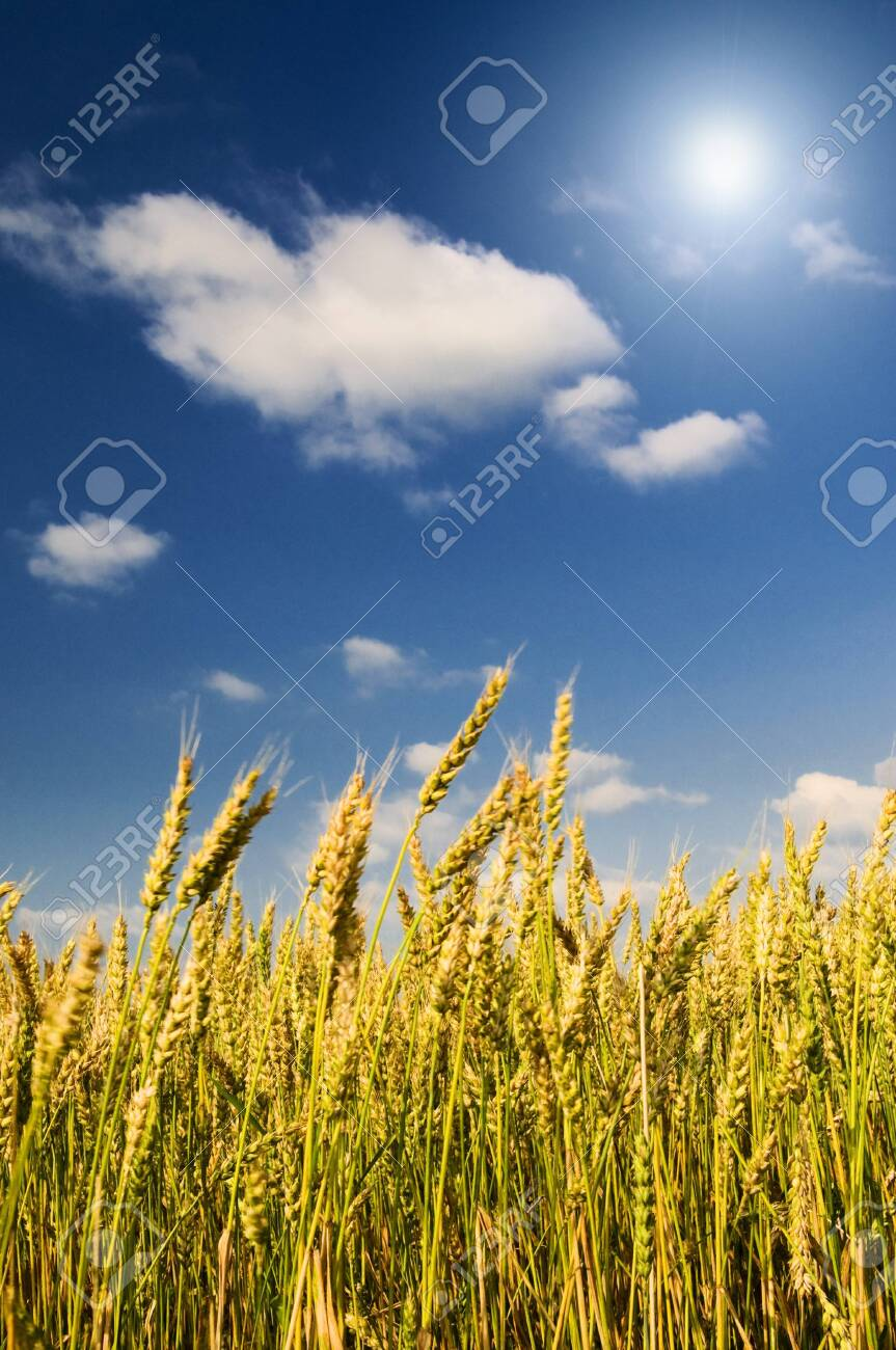 Beautiful golden field of ripe wheat by summer. Stock Photo - 7441318