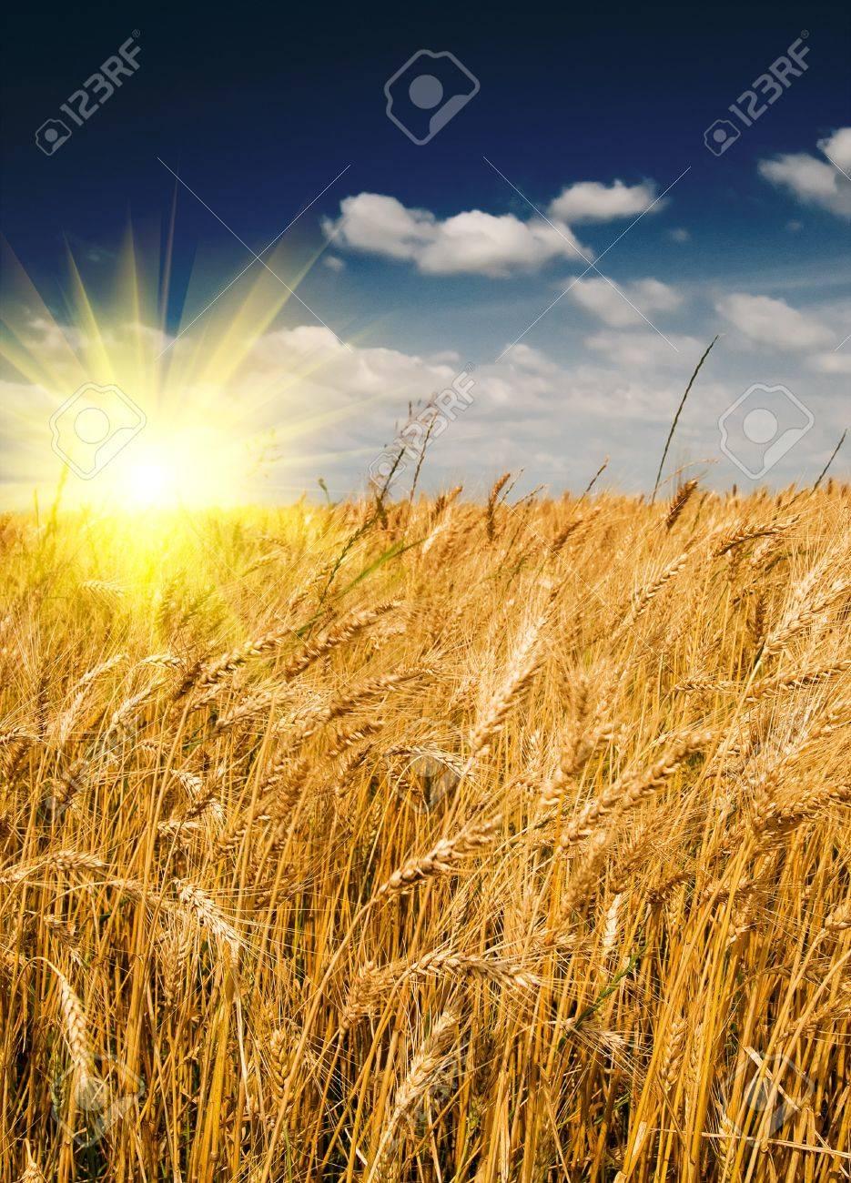 Cornfield in summer rural landscape and fun sun in the blue sky. Stock Photo - 7556317