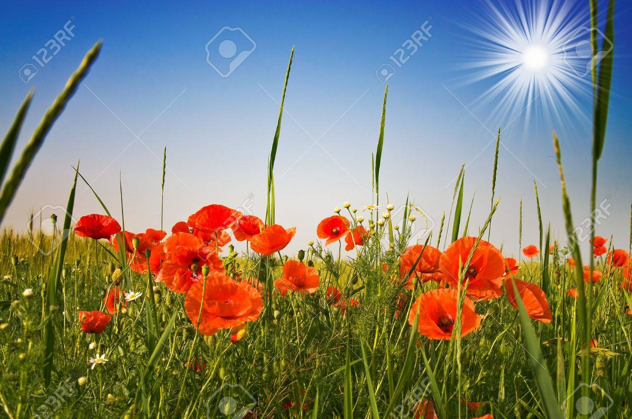 red poppies and blue sky with sunbeams early morning by summer