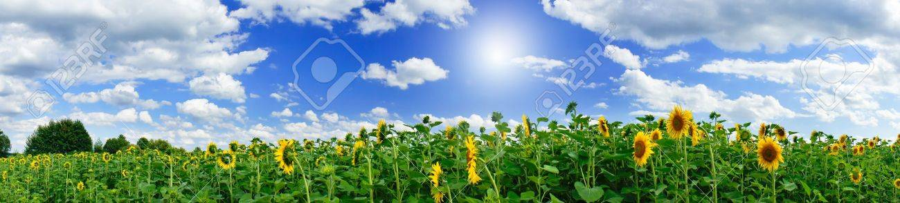 Wonderful  panoramic view  field of sunflowers by summertime. Stock Photo - 10045277