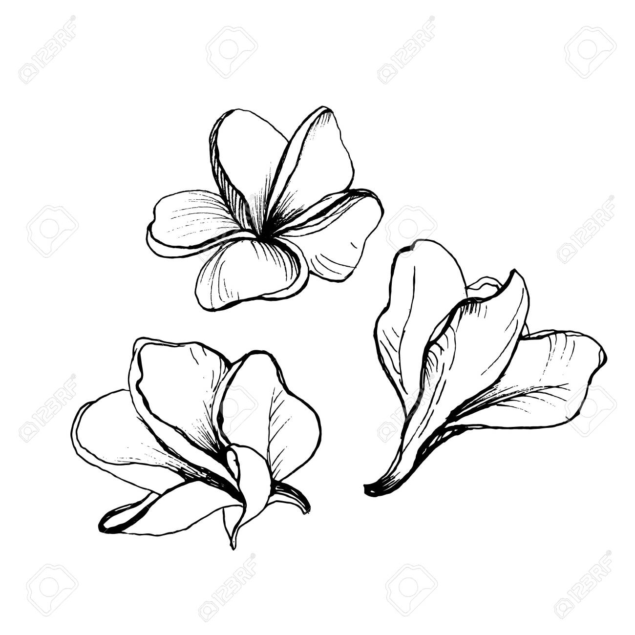 Hand Drawing Set Of Plumeria Flowers Outline Sketch Isolated Royalty Free Cliparts Vectors And Stock Illustration Image 136398580