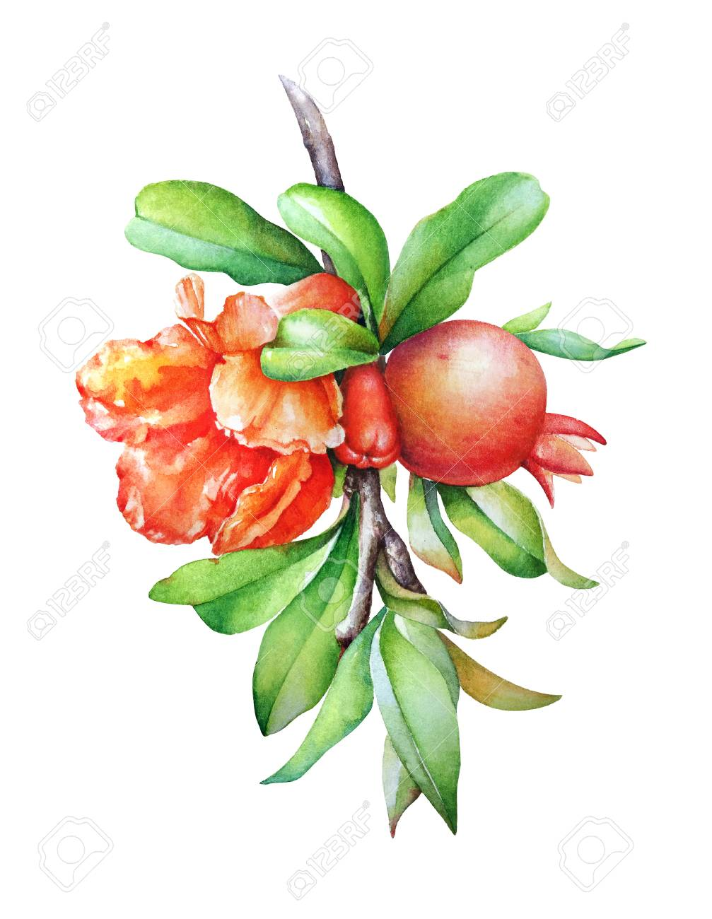 Watercolor Hand Drawn Illustration Of The Pomegranate Tree Branch Stock Photo Picture And Royalty Free Image Image 109423097