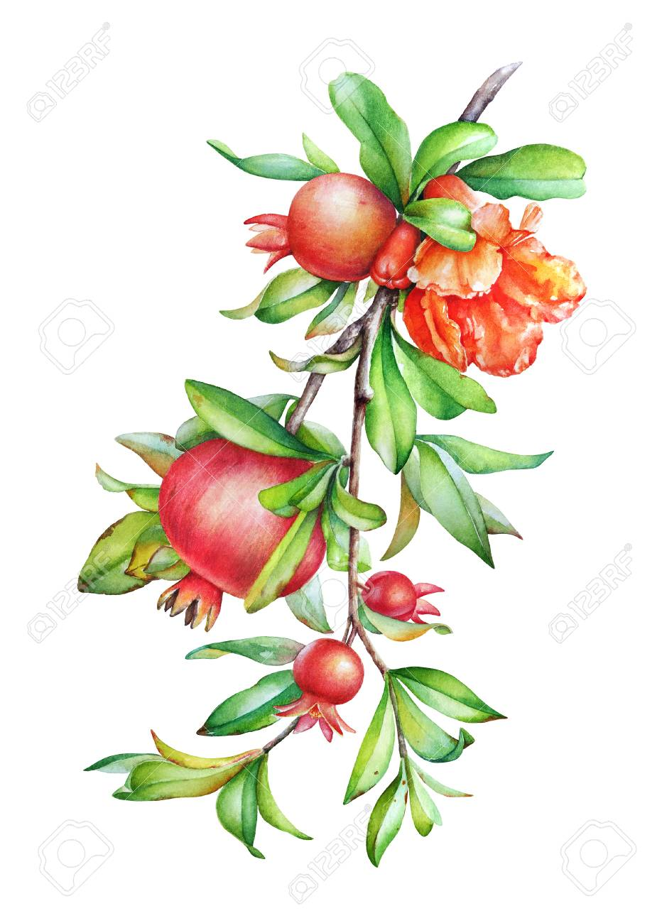 Watercolor Hand Drawn Illustration Of The Pomegranate Tree Branch Stock Photo Picture And Royalty Free Image Image 112595435