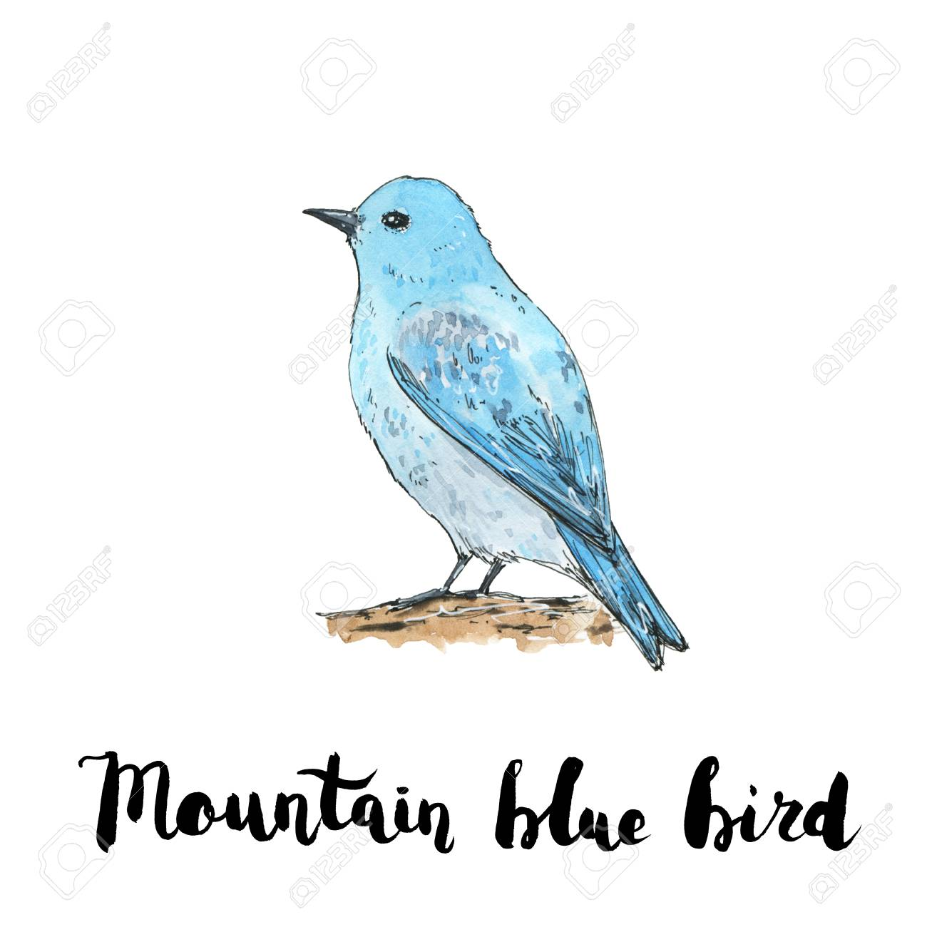 Hand Drawn Watercolor Isolated Bird Mountain Bluebird With Handwritten