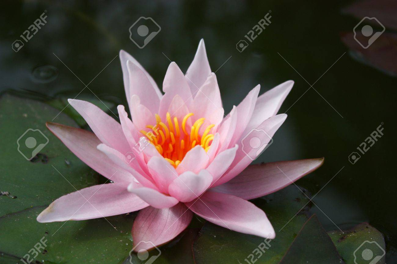 White Water Lily Lily Flower Vegetable Water Lily Bloom Stock