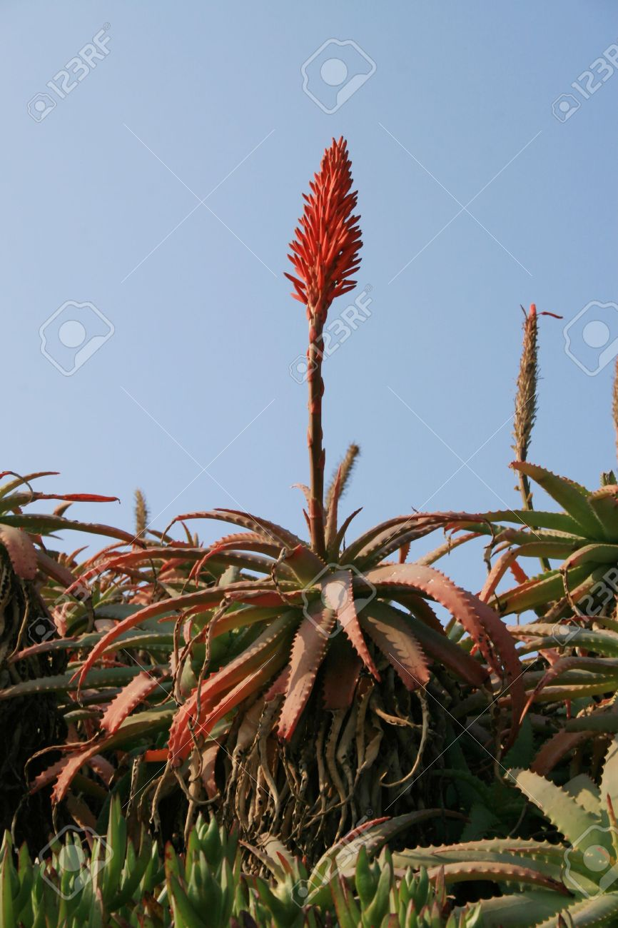 Flowers Of The Aloe Vera Plant Against A Blue Sky Stock Photo
