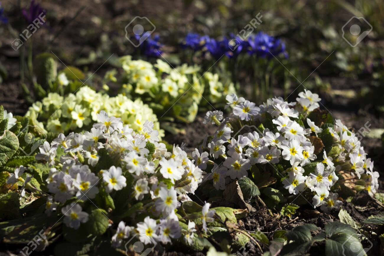 White And Yellow Primrose Bushes Bloom In Spring In The Garden