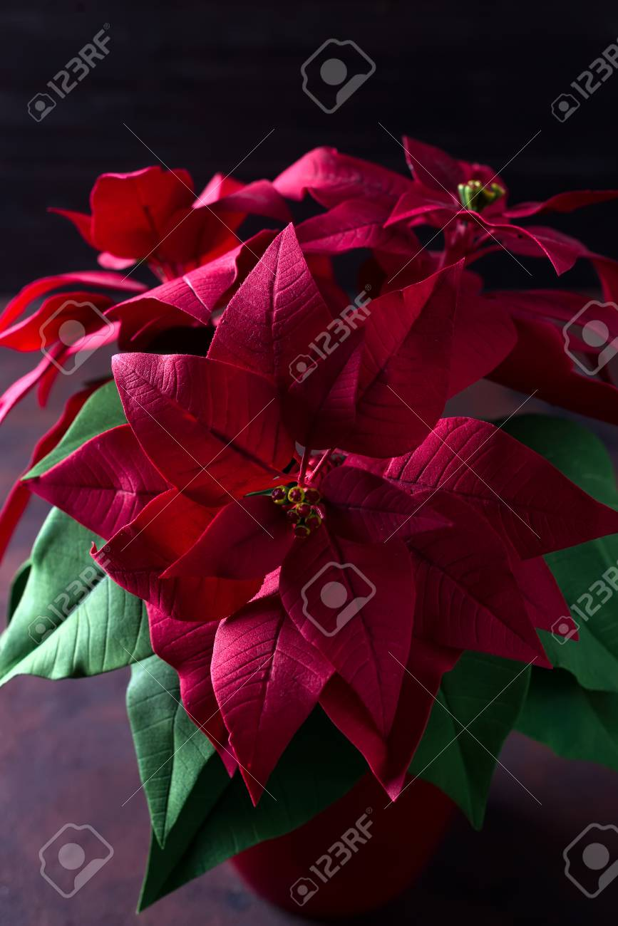 Beautiful Red Christmas Flower Poinsettia On A Dark Wooden