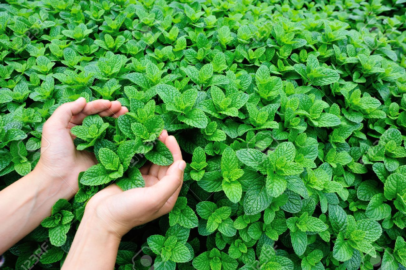 mint plant grow at vegetable garden - 50012041