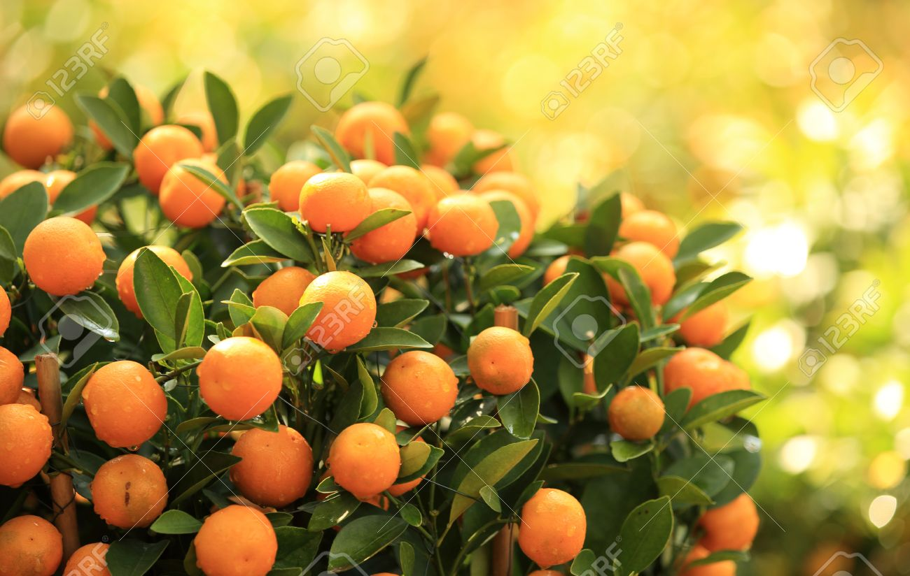 citrus orange grow on tree - 51201383