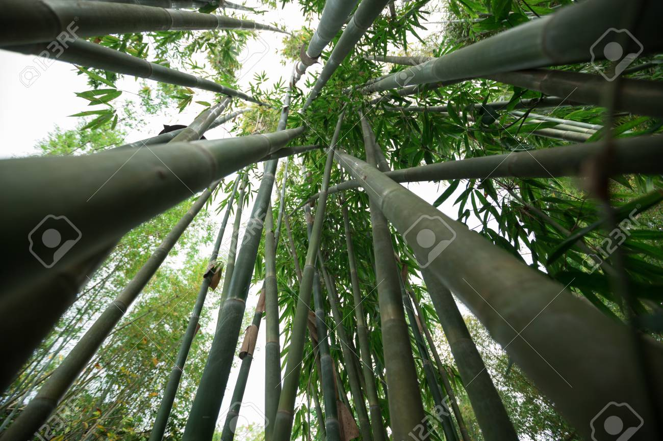 Bamboo Trees Looking Up Stock Photo Picture And Royalty Free