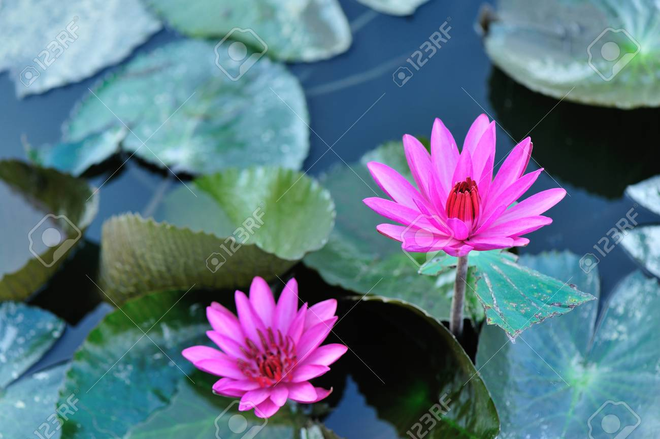 Top view of beautiful pink lotus flower with green leaves in stock stock photo top view of beautiful pink lotus flower with green leaves in pond izmirmasajfo