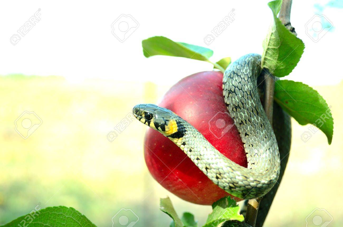 Snake on a red apple - 10525295