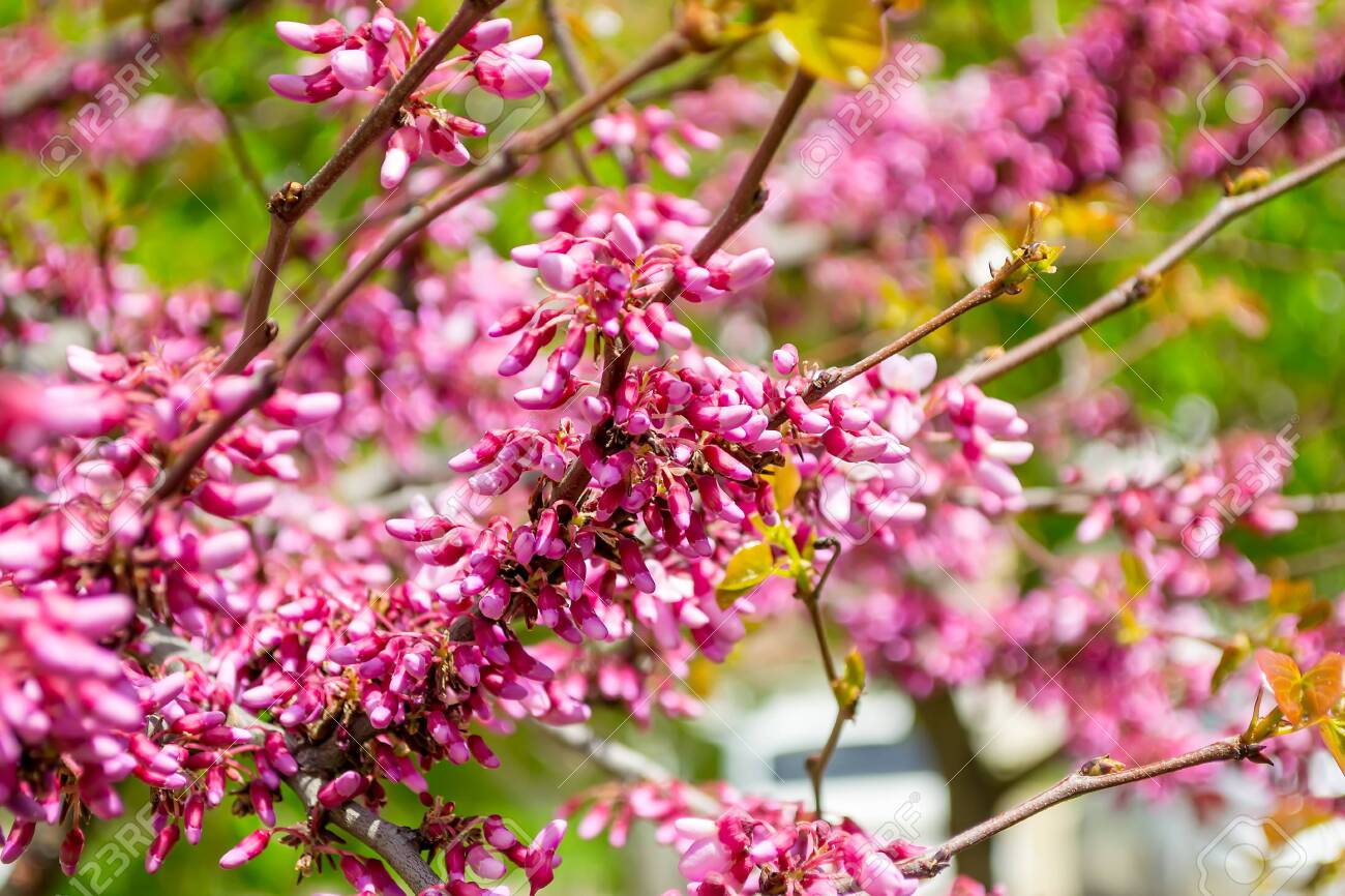 Beautiful Spring Bloom Of Cercis Canadensis A Branch Of Eastern