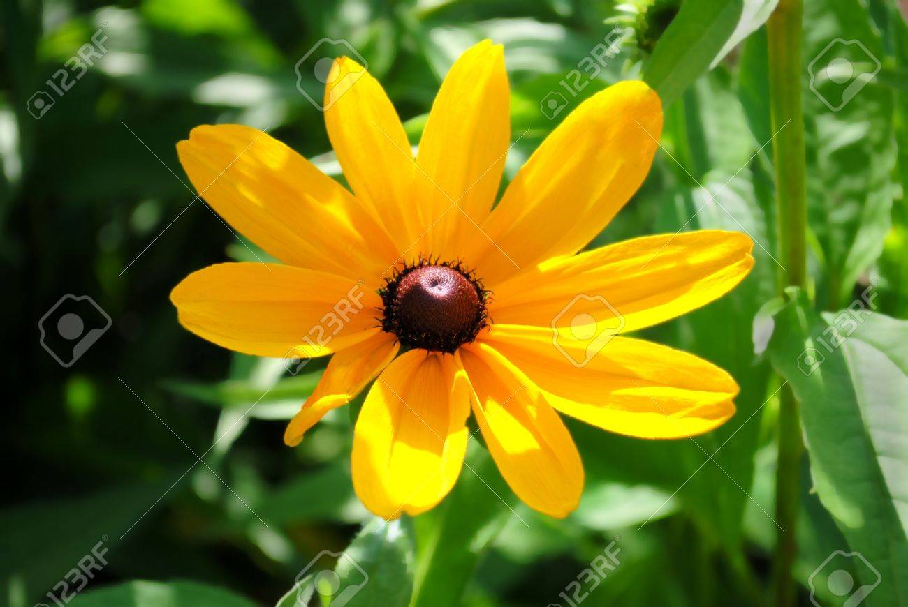 this wildflower bears many common names black eyed susan