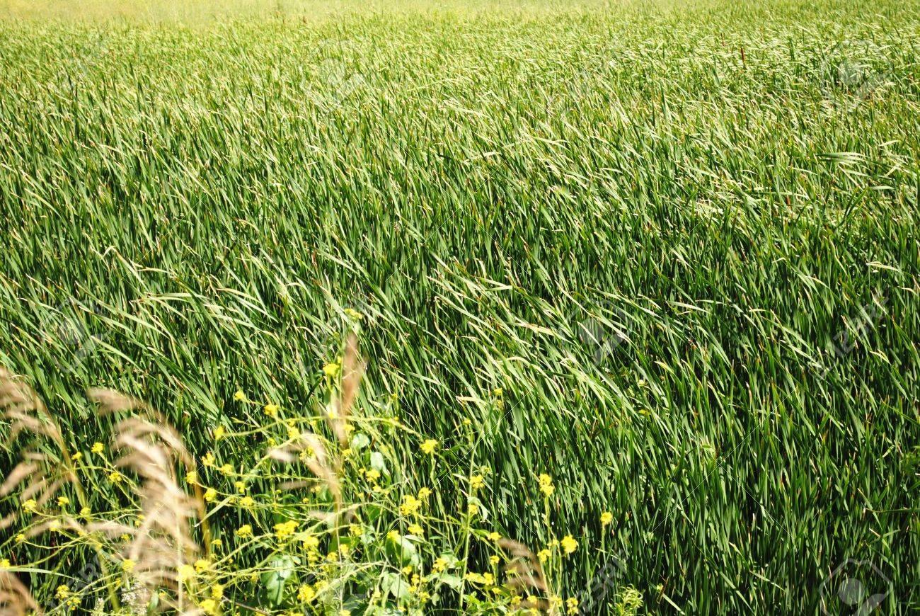 IMAGIER COLLECTIF 7464478-des-vagues-de-l-herbe-des-prairies-indig-nes-du-Midwest-garni-de-fleurs-sauvages-de-fond-pour-votre--Banque-d'images