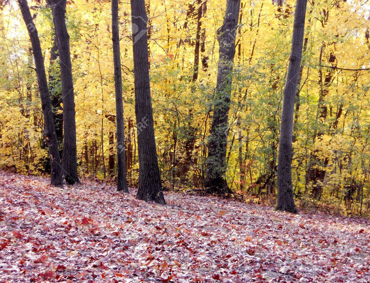 Fallen red oak leaves and bright yellow maple leaves brighten the woodland hillside. Stock Photo - 8228708