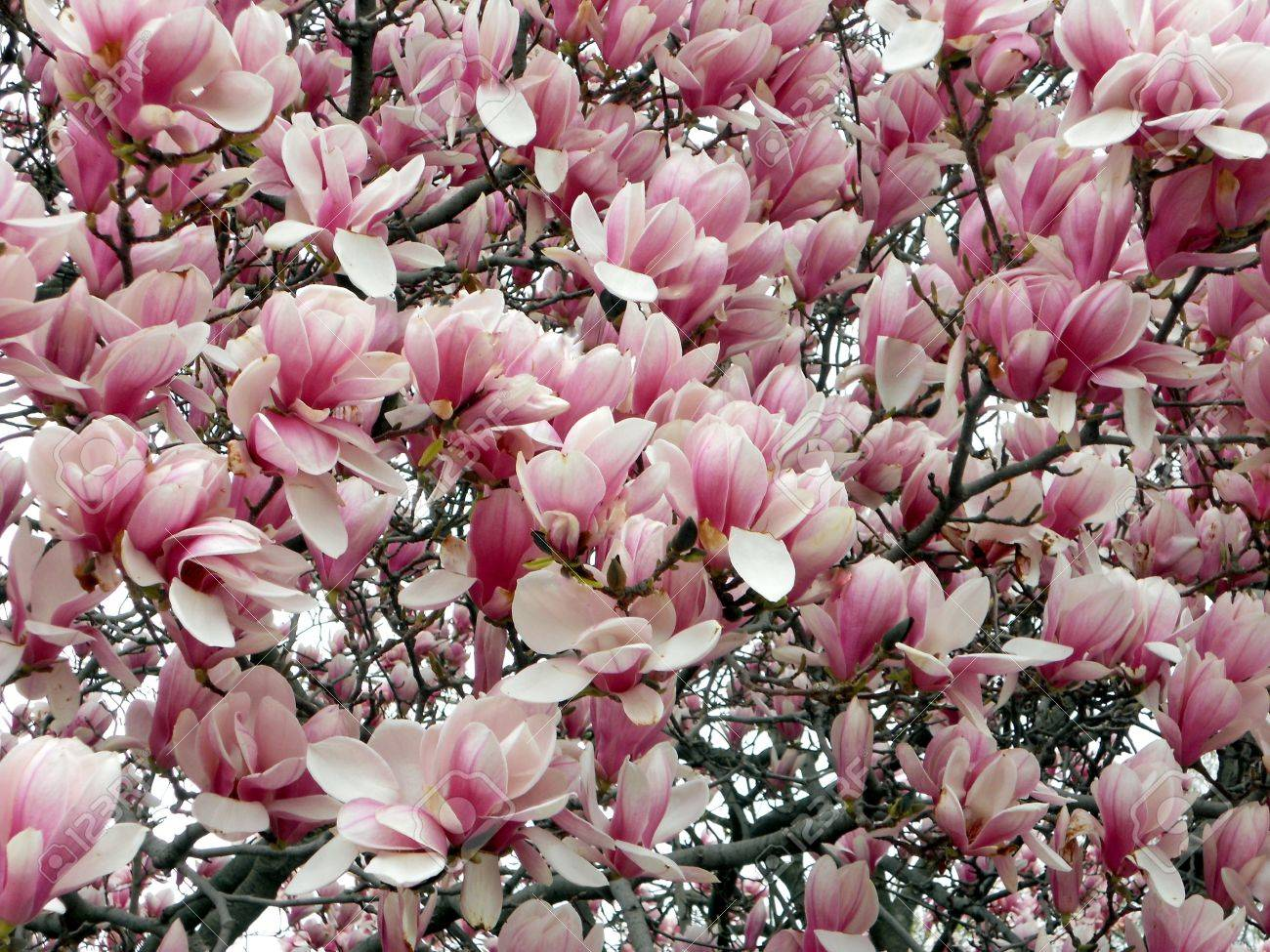 Magnolia tree also called tulip tree with its waxy looking stock magnolia tree also called tulip tree with its waxy looking flowers in shades mightylinksfo