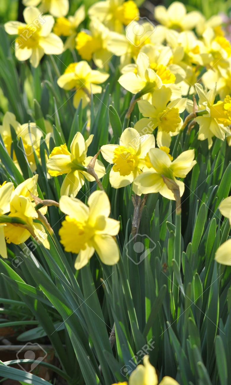 Daffodils in the morning sunlight Stock Photo - 12803706