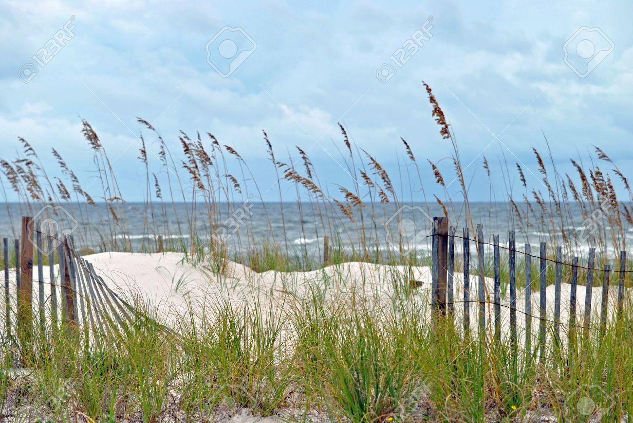 Blue dune lyme grass - Sand Dune Grass Sand Dunes Fringed With Sea Oats Northwestern Florida Coast Of Gulf