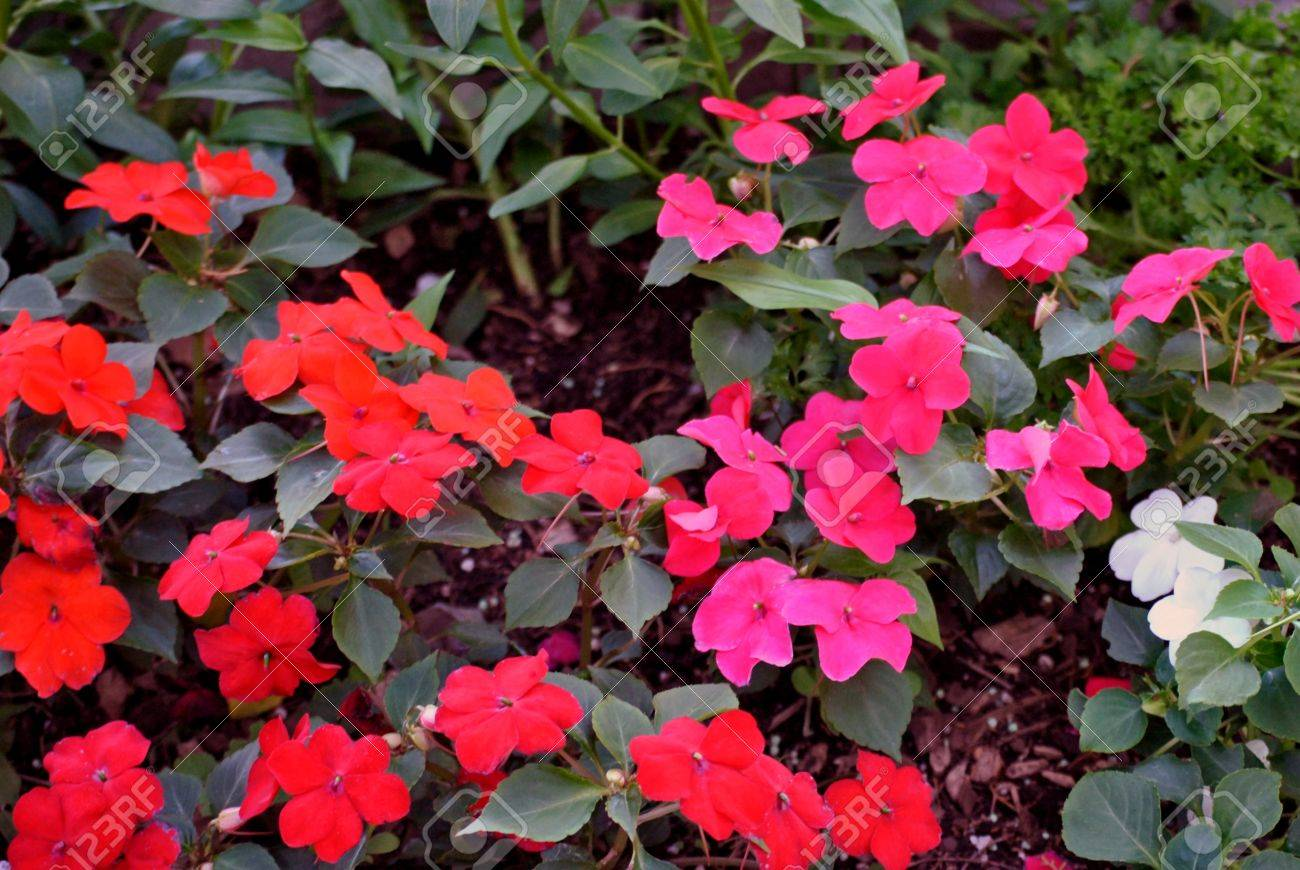 Border Of Impatiens For The Shade Garden Stock Photo Picture And Royalty Free Image Image 20628156