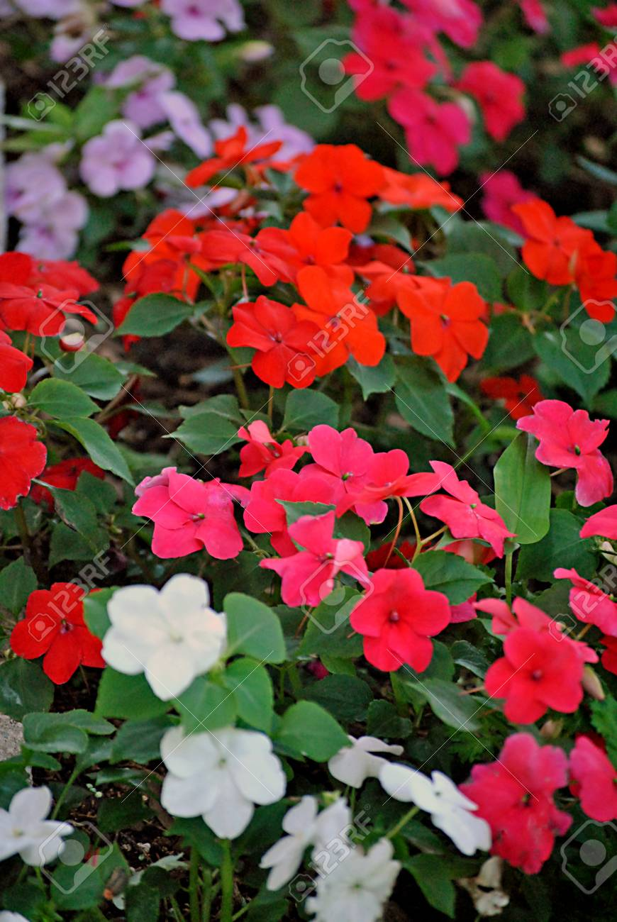 Border Of Impatiens For The Shade Garden Stock Photo Picture And Royalty Free Image Image 20629180