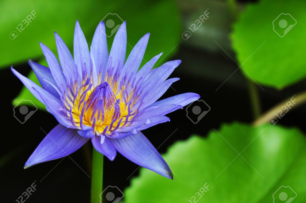Purple lotus flower stock photo picture and royalty free image purple lotus flower stock photo 40185556 izmirmasajfo
