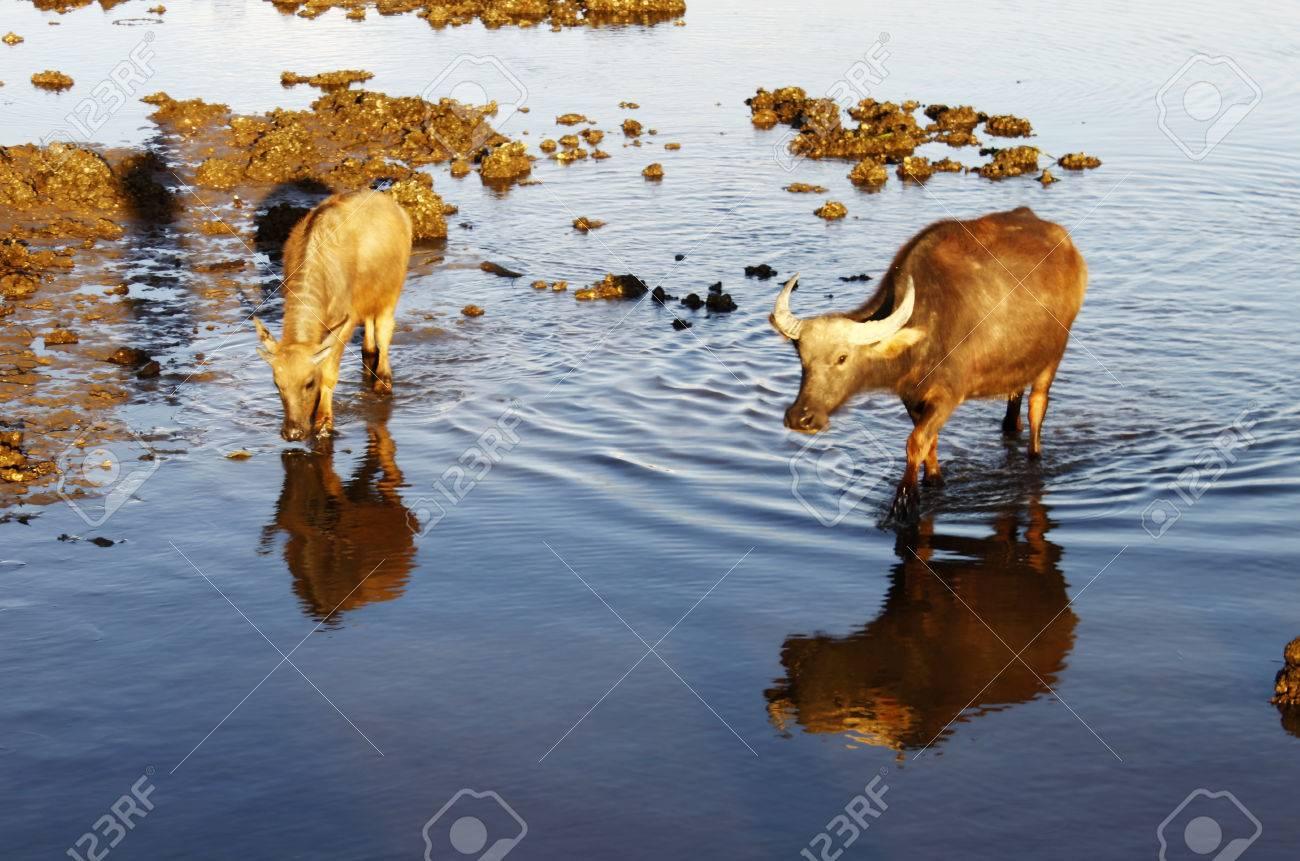 Asian water buffalo Stock Photo - 24893557