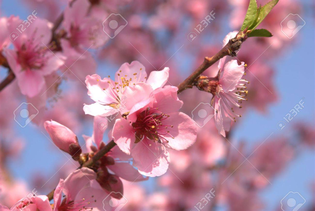 Background With Peach Blossoms In Spring Stock Photo