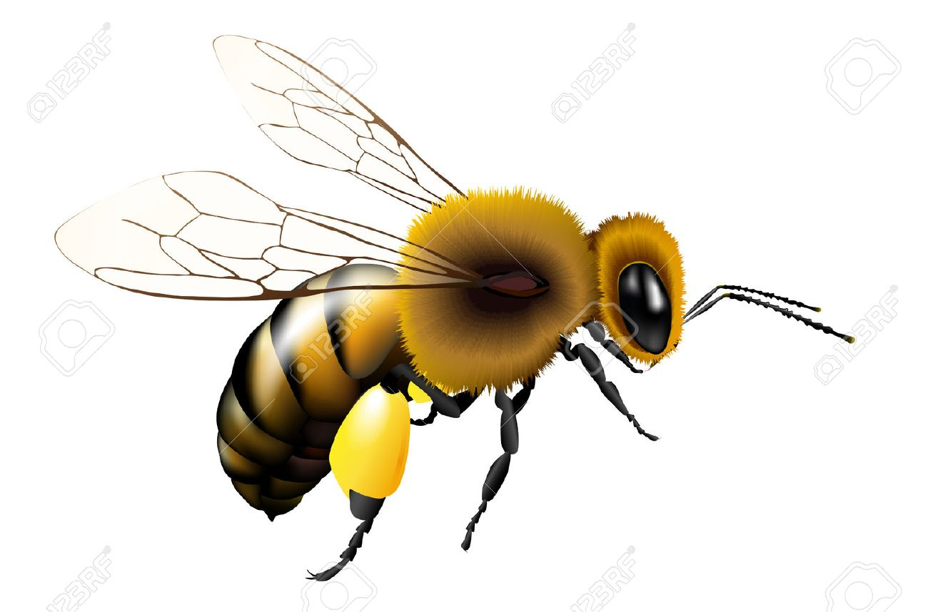 Vector Illustration Of Bee With Transparent Wings For Any Background