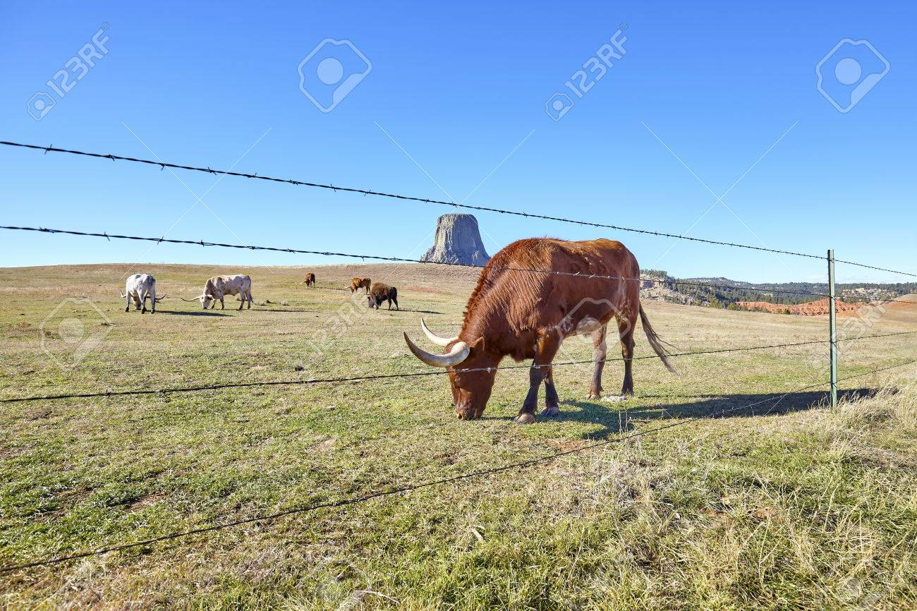 barbed wire fence cattle. Cattle Behind Barbed Wire Fence With Devils Tower In Distance, Top Attraction Wyoming State