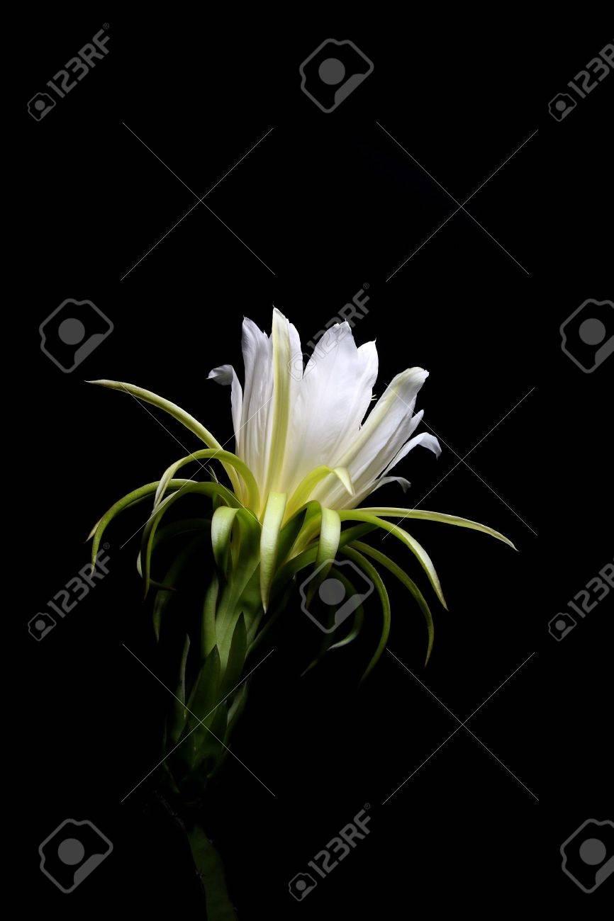 Pitaya flower or dragon fruit flower in black background Stock Photo - 9809010