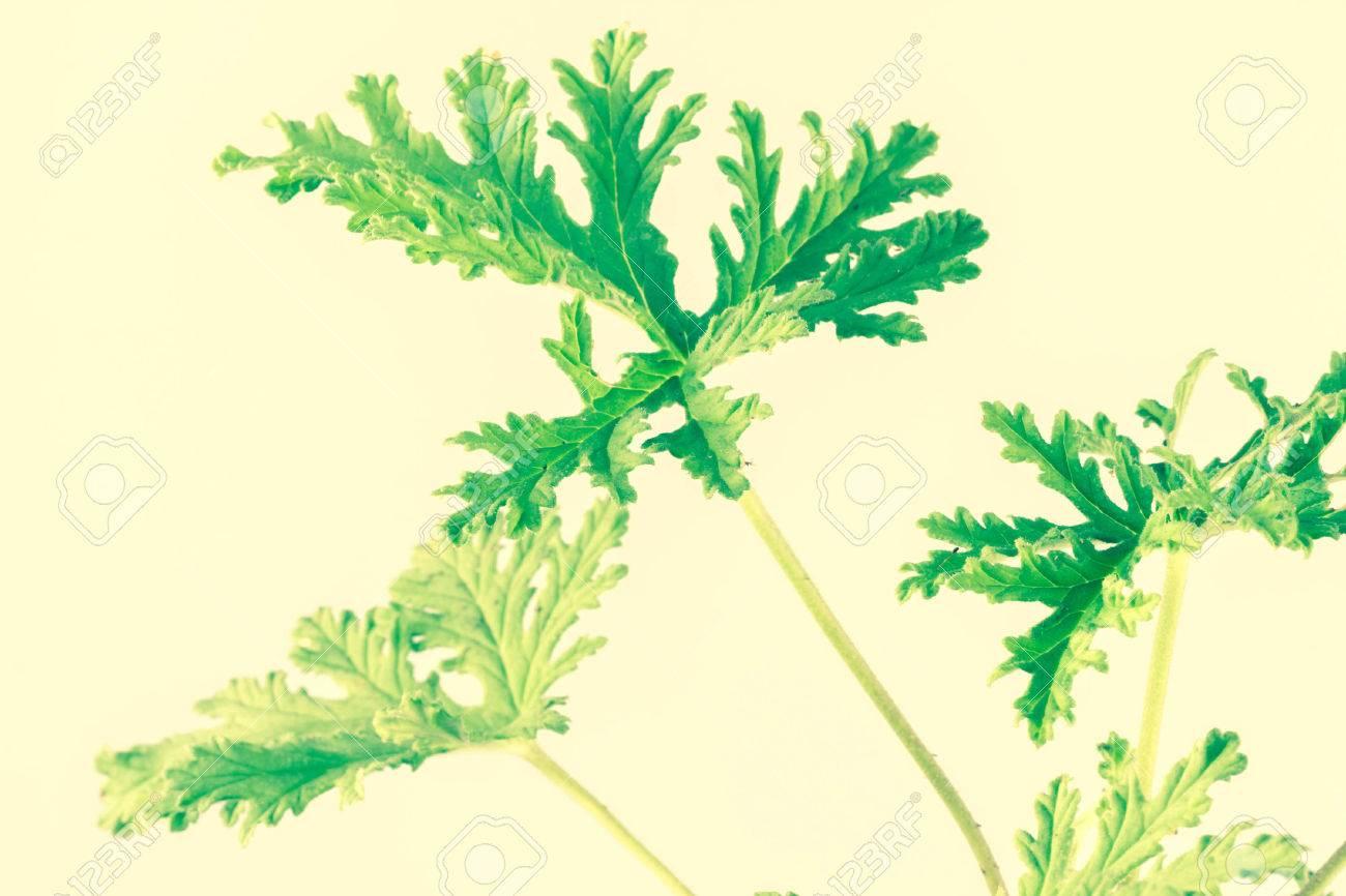 All Natural Citronella Plant Mosquito Repellant Leaves Stock Photo