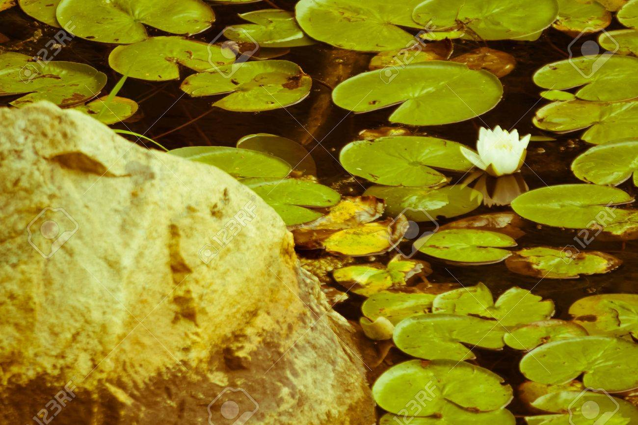Natural Lily Pads With Flower On Summer Lake Stock Photo Picture