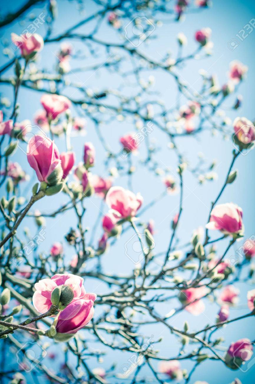 Beautiful Spring Bloom For Magnolia Tulip Trees Pink Flowers Stock