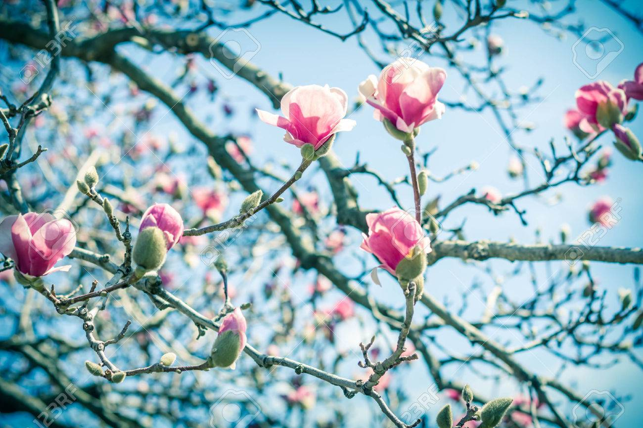 Beautiful Spring Bloom For Magnolia Tulip Trees Pink Flowers