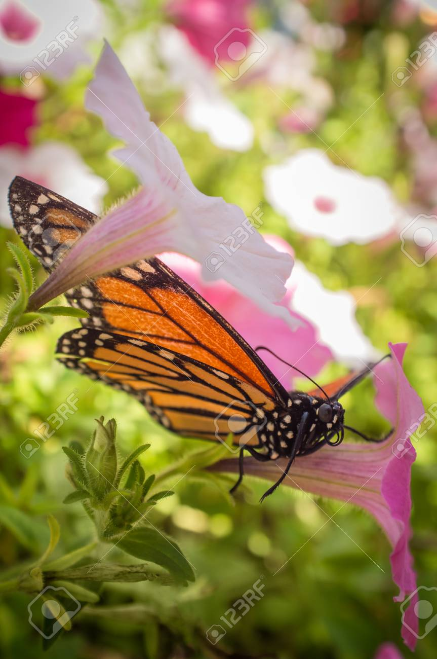 Close Up Monarch Butterfly With Pretty Summer Flowers Stock Photo