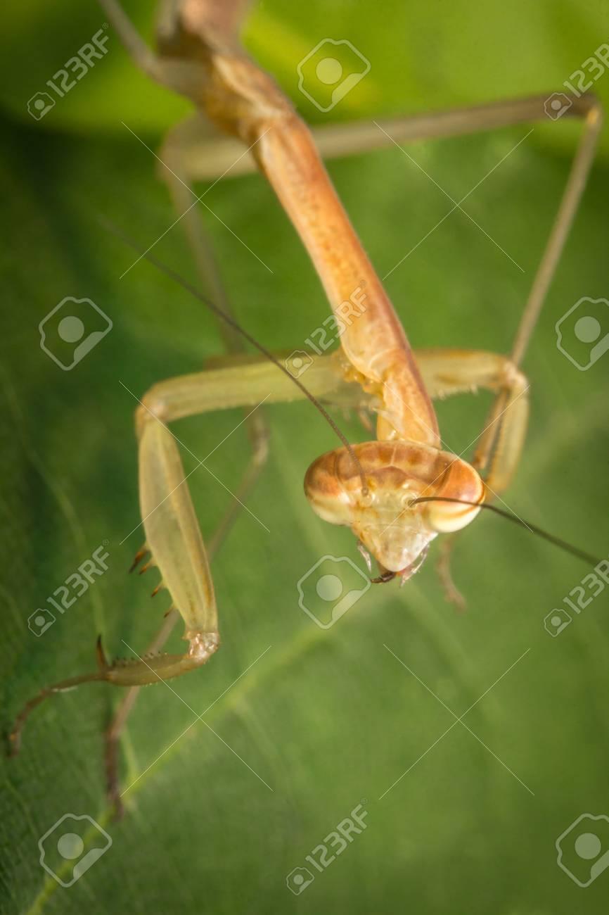 Close Up Macro Chinese Praying Mantis Insect Nymph Stock Photo