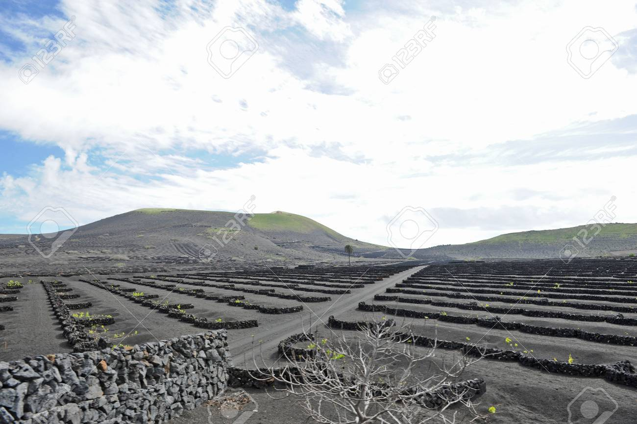 Lanzarote, Canary islands, Spain  A vineyard with vines growing in black sand, in sectors with walls built of volcanic rock Stock Photo - 27229050