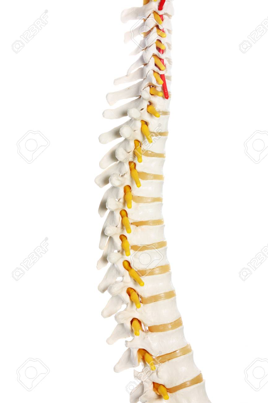 A Picture Of A Human Spine Preparation Over White Background Stock