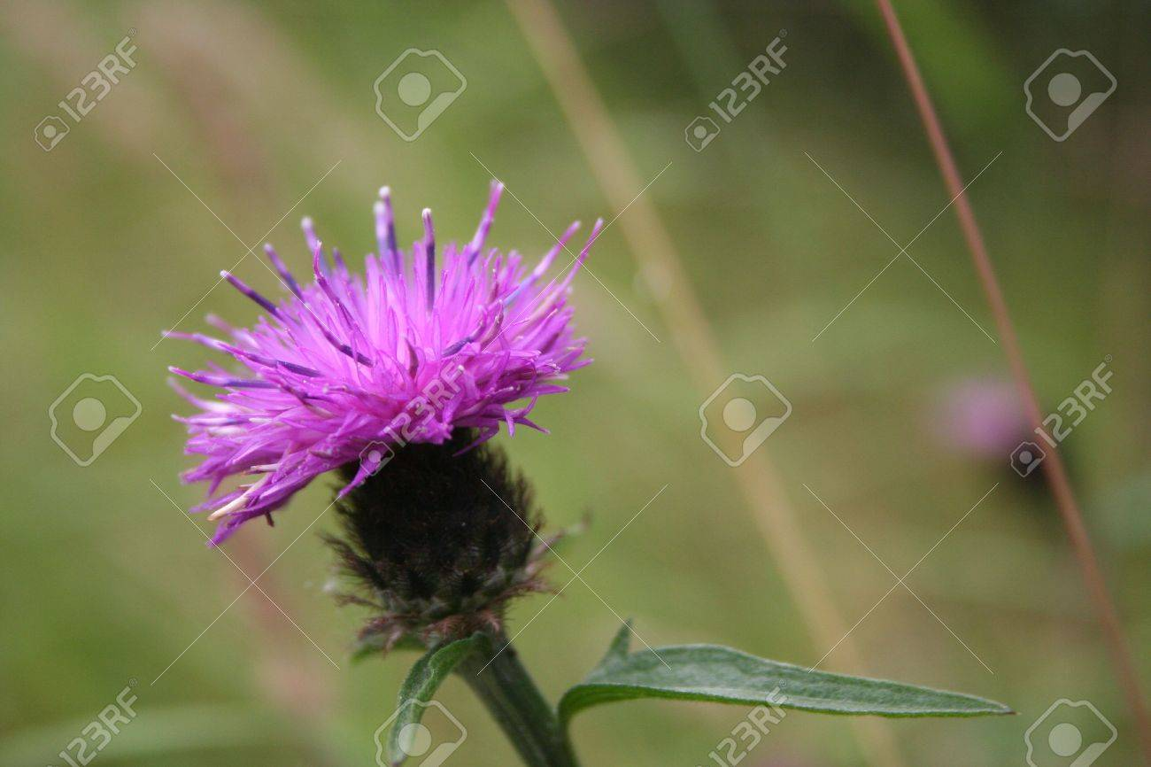 scottish thistle stock photo picture and royalty free image