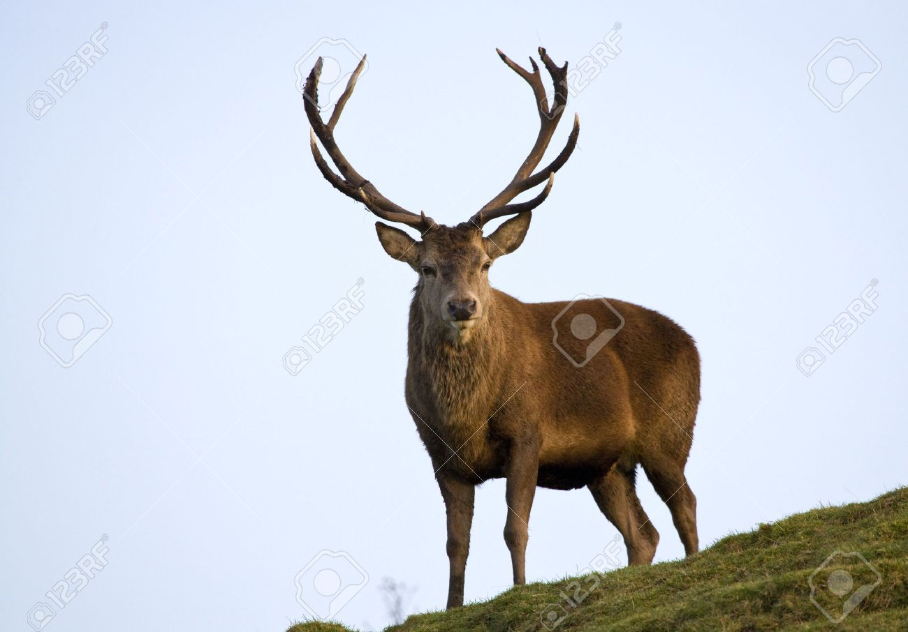 Red deer stag in the Scottish Highlands. Stock Photo - 3941223