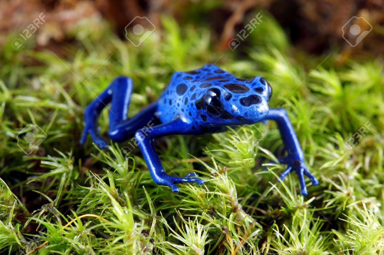 Blue Poison Dart Frog Stock Photo - 10049883