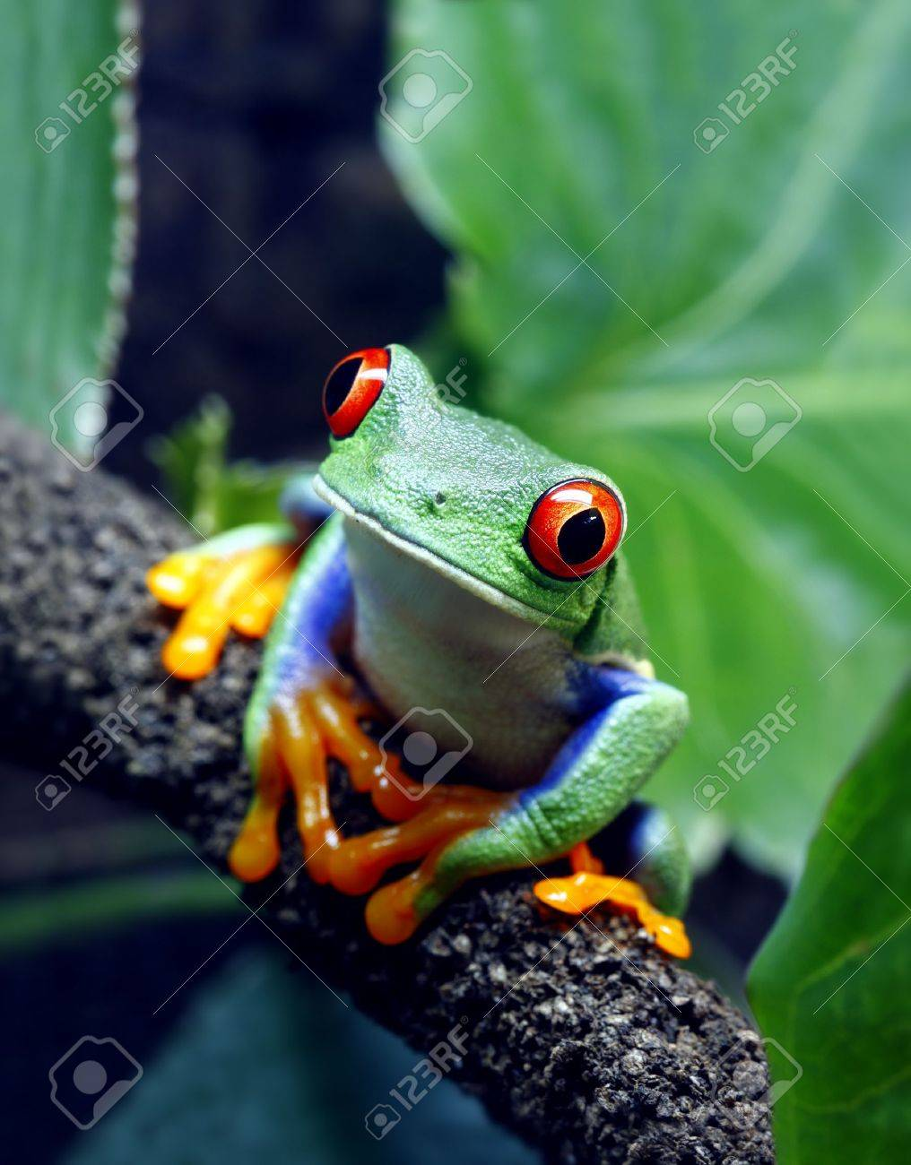 Red-Eyed Tree Frog Stock Photo, Picture And Royalty Free Image ...