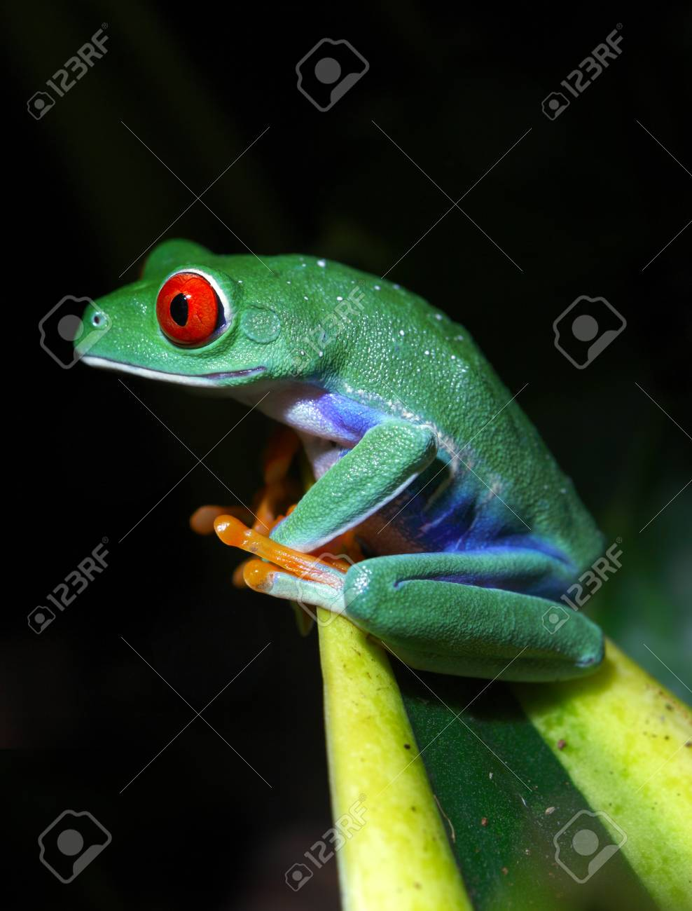 Red-Eyed Tree Frog Stock Photo - 10049853
